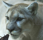 the Living Desert Mountain Lion thumbnail